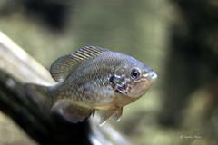 Unsaturated  Unnamed Fish (Soapbox Girl (Carol Anne)) Tags: fish aquarium aquaticlife adventureaquarium newjerseyaquarium adventureaquariumcamdennj