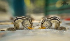 Palm Squirrel Breakfasting (Shahid_Hussain) Tags: squirrel animal twin natural nature