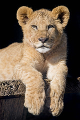 Cesar posing for me! (Tambako the Jaguar) Tags: male portrait posing resting platform cool looking cub young lion big wild cat african plttli zoo frauenfeld switzerland nikon d5