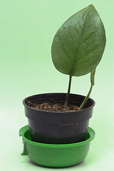 The Green Leaf (Alias_239) Tags: life green leaf still iran ایران سبز گیاه qom طبیعت قم برگ گلدان بیجان