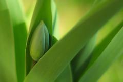 Tulip bud (Peggy'sEyes) Tags: tulip signofspring tulipbud