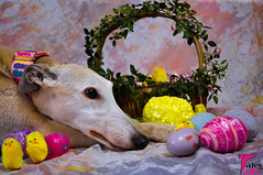 Easter Insanity (houndstooth4) Tags: dog greyhound bunny easter eggs chicks ddc day94 day94365 dogchal 365the2015edition 3652015 4apr15