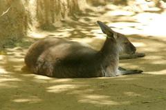 LA Zoo (Tiger_Jack) Tags: animals kangaroo kangaroos lazoo zoo zoos itsazoooutthere zoosofnorthamerica