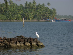 Kerala Asia India North-Kerala Kasaragod-District South-Asia Indien (oksana8happy) Tags: copyright india bird water birds animal animals river tiere asia asien heiconeumeyer wasser kerala palmtrees palmtree vögel fluss palme indien coconutpalm tier vogel backwater malabar southasia copyrighted palmen coconutpalms kasaragod kokosnusspalme kokospalme northkerala coconutpalmtree kasargode coconutpalmtrees südasien kasaragoddistrict kasargodedistrict nordkerala