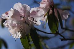 Rhododendron (blondinrikard) Tags: pink flowers botanical rhododendron april botanicalgarden bohusln botaniska botaniskatrdgrdengteborg