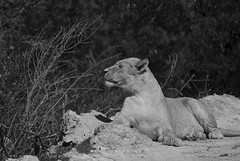 The Lion (Oriol Puig28) Tags: france animals nikon lion blacknwhite chill traveler naturelovers sigean youngshooters