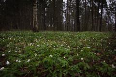 Day 76/365 (JohannesLundberg) Tags: plants spring europe sweden location plantae ranunculaceae solna anemonenemorosa angiospermae vitsippa floweringplants woodanemone kungshamra magnoliophyta angiosperm project365 stockholmslän 365photos 2organisms