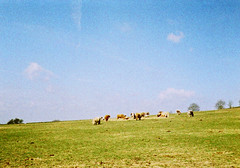 op - cows on the hill (johnnytakespictures) Tags: summer sun film nature field sunshine animals pen lomo xpro lomography crossprocessed cows natural leicestershire farm crossprocess olympus 200 land analogue halfframe beaconhill loughborough paddock colorslide lifestock ee3 chapelfields