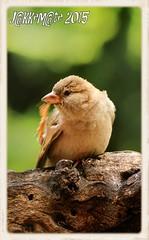 GORRION COMUN HEMBRA (Passer domesticus) (JORGE AMAYA BUSTAMANTE - JAKKEMATE) Tags: bird birds nikon wildlife sigma aves jorge comun amaya domesticus passer d300 hembra bustamante gorrion photonature gorriona 150500 birdwachting