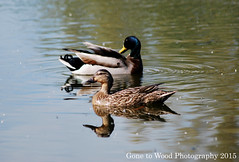 Mallard Pair (Mike Jones Photos) Tags: mallard anasplatyrhynchos malefemale nikond60