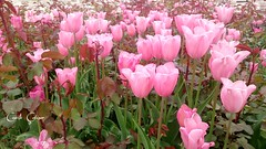 (ccetn) Tags: pink nature floral spring tulips trkiye konya bahar lale pembe laleler