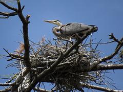 GBH Nest (jphillipobrien2006) Tags: newjersey oceancounty greatblueheron rookery redtailedhawk wildnewjersey