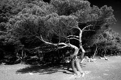 macchia (enrico sprea) Tags: blackandwhite monocromo italia mare liguria portovenere spiaggia biancoenero vento laspezia pinomarittimo marligure macchiamediterranea isolapalmaria pentaxlife bwartaward golfodellaspezia
