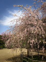 Hiroshima Sakura (karolajnat) Tags: trip castle history japan cherry island memorial asia peace blossom hiroshima dome sakura bomb past atomic hanami japaneese peacememorial japonia karolajnat hiroszima honshiu