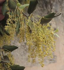 Stein-Eiche westlich Can Picafort, Mallorca, NGID441201616 (naturgucker.de) Tags: quercusilex steineiche naturguckerde cwolfgangkatz 1038097865 409271081 2119848190 ngid441201616
