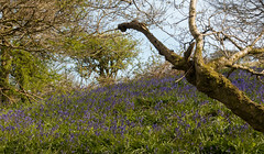 Ventnor Downs (Andy Latt) Tags: flowers blue bluebells downs spring sony ventnor isleofwight andylatt rx100m3 dsc01394r