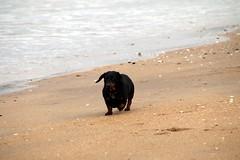 2016 - 16.5.15 Gullane Beach (19) (marie137) Tags: trees sea horses cloud sun flower castle beach dogs animals rock landscape sand berry ben bass harbour ruin gsd marie137