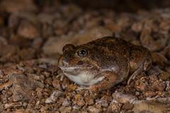 Ornate Burrowing Frog (R. Francis) Tags: qld queensland centralqueensland mitchellgrassdowns ornateburrowingfrog platyplectrumornatum ryanfrancis ryanfrancisphotography mitchellgrasslands