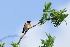 Stonechat (Wild About.......) Tags: uk nature birds fauna unitedkingdom wildlife british naturephotography saxicolatorquata stonechat 1d4