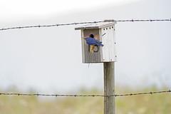 Lucky 13 (mnlamberson) Tags: westernbluebird sialiamexicana beaverlakeroadlakecountrybc