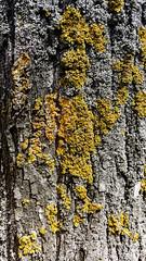 Yellow lichen on tree bark (piropiro3) Tags: tree bark treebark lichen flechte baum rinde baumrinde treelichen