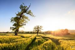 Un air de Printemps (NeoNature) Tags: trees sunset sky france nature field barley canon landscape soleil countryside path horizon champs coucher ciel arbres normandie paysage campagne normandy calvados orge normande sillage