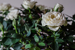 123 ~ 366 (BGDL) Tags: roses niftyfifty nikond7000 bgdl afsnikkor50mm118g lightroomcc goingfor4inarow~366