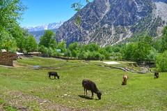 Local Kalasha Farmlands (Emaad Paracha) Tags: festival fort top pass mosque valley mir dir kalash shahi mardan chitral malakand lowaripass lowari terich bumburet lowaritop timergara chilimjusht