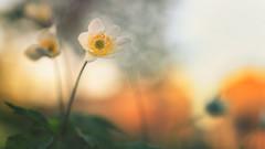Wood Anemone (Subdive) Tags: flower nature fleur springtime windflower woodanemone