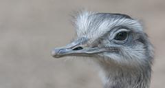 Greater rhea 2016-04-06-0243 (bzd1) Tags: nature animal natuur aves rheaamericana cho rhea greaterrhea neornithes rheidae rheiformes palaeognathae