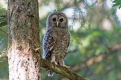 barred owl fledgling victoria bc (lee barlow) Tags: canada nikon britishcolumbia vancouverisland victoriabc birdofprey barredowl d800 800mm strixvaria birdsofbritishcolumbia leebarlow birdsofnorthamerica