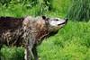 Loup noir (Carahiah) Tags: wet water wolf eau animaux rhodes wolves saintecroix mouillé essorage secouer parcanimalier blackwolves loupnoir