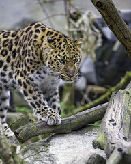 Young leopardess with a paw on the branch (Tambako the Jaguar) Tags: walking paw branch stone portrait amur female young leopardess cute fluffy leopard big wild cat mulhouse zoo france alsace nikon d4