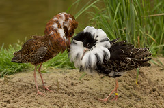Ruff_2641 (Peter Warne-Epping Forest) Tags: uk bird ngc npc ruff