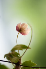 springtime dream (eva vee) Tags: flower green nature flora nikon soft dof bokeh outdoor pastel natur clematis blumen bud blume frhling loodus lilled d5000