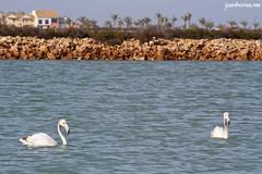 Flamencos en una de las lagunas (juanhorea.me) Tags: sea espaa mar spain murcia mediterraneansea sanpedrodelpinatar salinasyarenalesdesanpedrodelpinatar marmediterrrneo