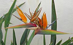 Pair Of Birds! ('cosmicgirl1960' NEW CANON CAMERA) Tags: flowers blue orange white green nature gardens spain parks espana birdofparadise costadelsol andalusia puertobanus marbella strelitzia yabbadabbadoo worldflowers