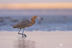 Dawn of the Hunt (santosh_shanmuga) Tags: wild fish bird beach heron nature colors beautiful birds animal sunrise outdoors sand nikon pretty florida outdoor pastel wildlife tide birding aves ft fl 500mm egret stalk ftmyers hunt wading myers reddish wader bunche d3s