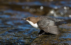 Dipper (Chas Moonie-Wild Photography) Tags: wild bird river scotland chas moonie dipper