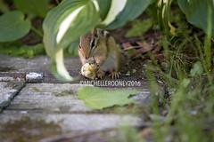 IMG_4644eFB (Kiwibrit - *Michelle*) Tags: tree grass birds woodpecker squirrel maine feeder chipmunk monmouth 2016 061916