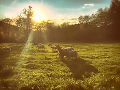 The Sunset of the Lambs (SergeK ) Tags: apple nature landscape outside soleil belgium explore batman lamb extrieur mouton rayons iphone plaine valdieu sergek iphoneonly