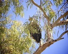 "Baby Bald Eagles ""eaglets"" week 13   3 (Gritsgal Photo's) Tags: bald eagles baldeagles"