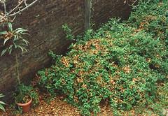 Pentax k1000 (fiumartinelli) Tags: autumn leaves analog 35mm garden fuji pentax k1000 superia fujifilm mm 35 800 analogica xtra fujicolor