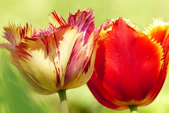 Two (evisdotter) Tags: flowers two macro colors colorful tulips bokeh blommor tulpaner sooc