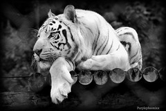 White Tiger Black and White (purplepheonixx) Tags: blackandwhite animals zoo wildlife tiger whitetiger wildlifepark westmidlandssafaripark