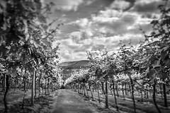 (Iola Welsh) Tags: blacknwhite wales sugarloaf wine welshwine vineyards vines breconbeacons abergavenny