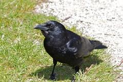 A Nut Please (Stirrett6) Tags: bird crow corvid perching