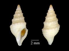 MOL_2818_Drilliola_sp_6193_01_369x276.gif (MaKuriwa) Tags: mollusca gastropoda neogastropoda turridae drilliola