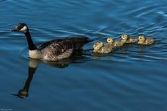 Swimming lessons (Fred Roe) Tags: nature birds wildlife birding goose waterfowl birdwatching canadagoose brantacanadensis birdwatcher peacevalleypark nikonafsteleconvertertc14eii nikond7100 nikkorafs80400mmf4556ged lca71c9378