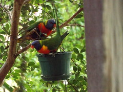 Lorikeets in Taree pic 1 (Gunzelman) Tags: nature birds newsouthwales lorikeets australianbirds australianfawna fujipics fujicamerapics gunzelman